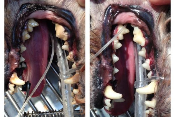A before and after photo of a dog's teeth cleaning
