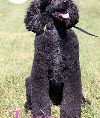 A large black Poodle named Twiggy
