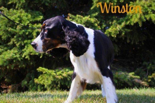 A black and white dog named Winston
