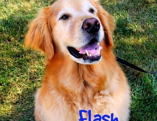 A Golden Retriever named Flash