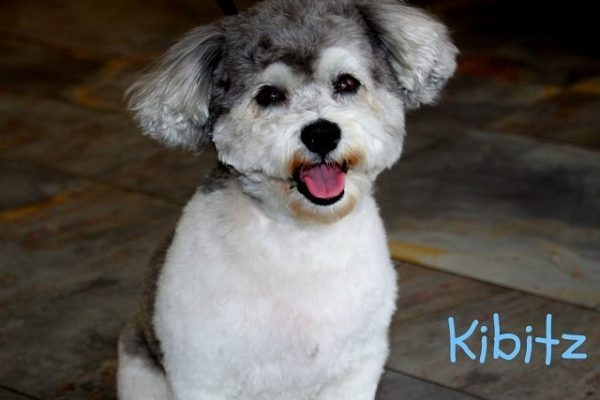 A small grey and white dog named Kibitz