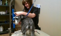 The professional pet stylist giving a small grey dog a hair cut
