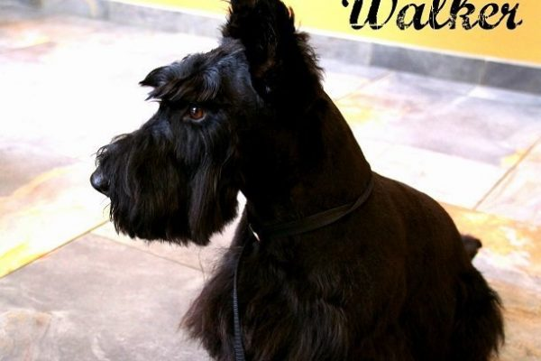 A small black Scottie dog named Walker